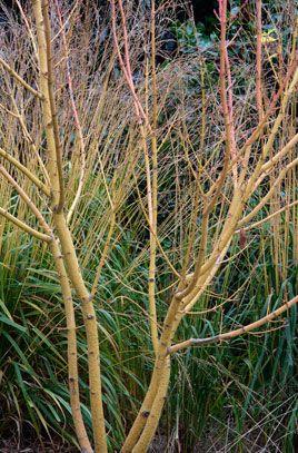 Acer rufinerve 'Erythrocladum' | /RHS Gardening
