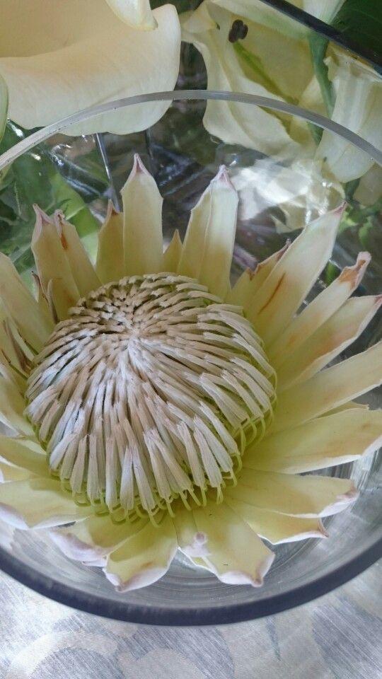 Glorious White Protea