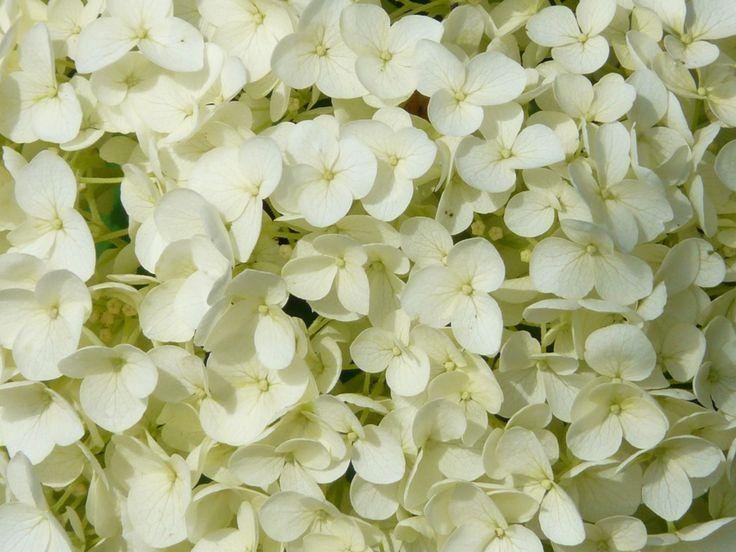 L'Hydrangea quercifolia o Ortensia a foglia di quercia.