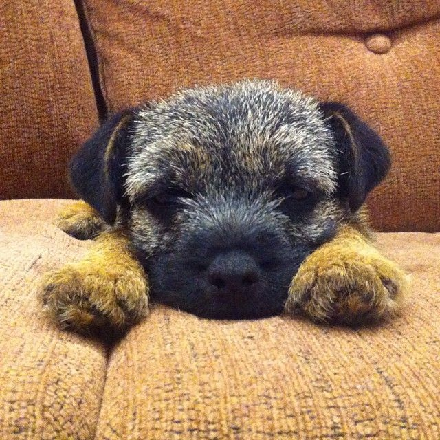 Tula the Border Terrier puppy