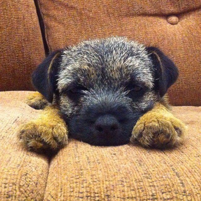 Tula the #borderterrier #puppy