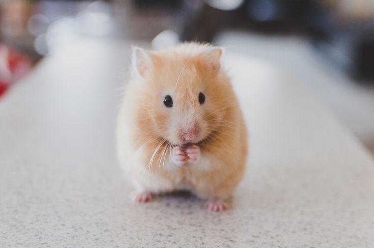 Hamster, Haustier, Tier, Klein, Niedlich, Pelz, Augen
