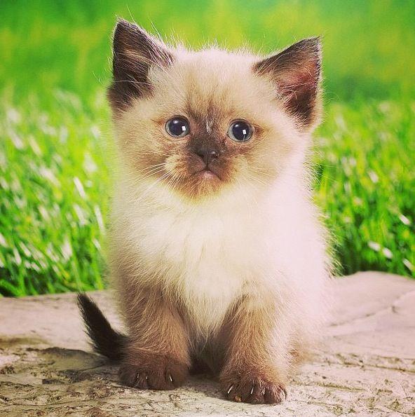 cute fluffy siamese kittens -#main