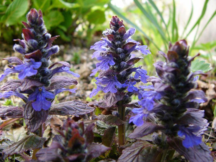 Carpet Bugle Plants Growing Ajuga Bugleweed In The Garden