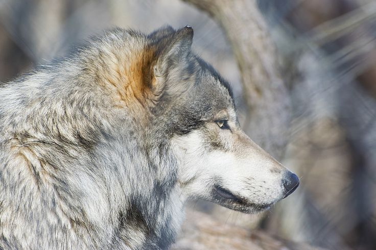 Lakota Wolf Preserve album - Alex Becker