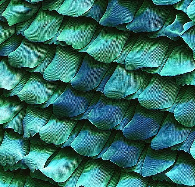Butterfly scales. Coloured Scanning Electron Micrograph (SEM) of scales from the wing of a peacock butterfly, Inachis io. These scales have an intricate design and overlap like the tiles on the roof of a building. They allow heat and light to enter, and also insulate the insect. They may also be highly coloured. The metallic appearance of the scales is due to ridges along their length. Magnification x110 at 6x6cm size.Peacocks Butterflies, Inspiration, Nature, Blue, Colors, Butterflies Wings, Butterfly Wings, Electronics Micrograph, Butterflies Scales
