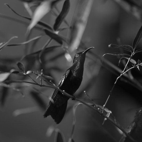 Colibri, Interior Photo Print, Black and White Photography, Caribbean Collection