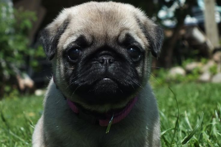 Pug Wallpaper, Screensaver, Background CuteAnimals