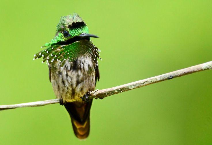 https://flic.kr/p/aCEZp5 | topetinho-verde (Lophornis chalybeus)