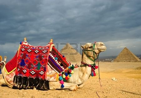 Decorated camel in front of pyramid of Gizeh, Cairo, Egypt.  ancient, archeology, architecture, arid, cairo, camel, civilisation, desert, dry, dust, egypt, history, landmark, monument, old, pharaoh, pyramid, sand, seven, site, stone, tourism, travel, wonder