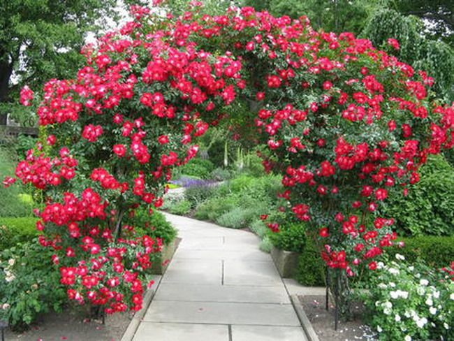 Red Rose Pergola Flower Arched Pinterest Red