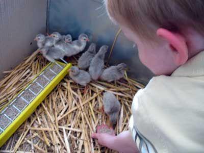 guinea fowl / raising keets