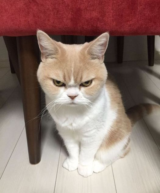Коюки — новый хмурый кот, покоривший пользователей сети   Только позитив!