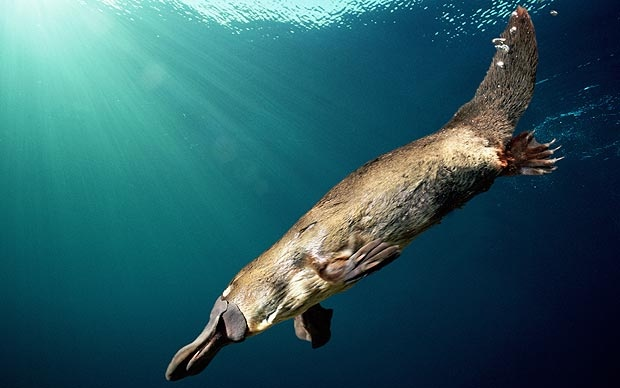 Duck-billed platypus at risk from climate change  - Telegraph