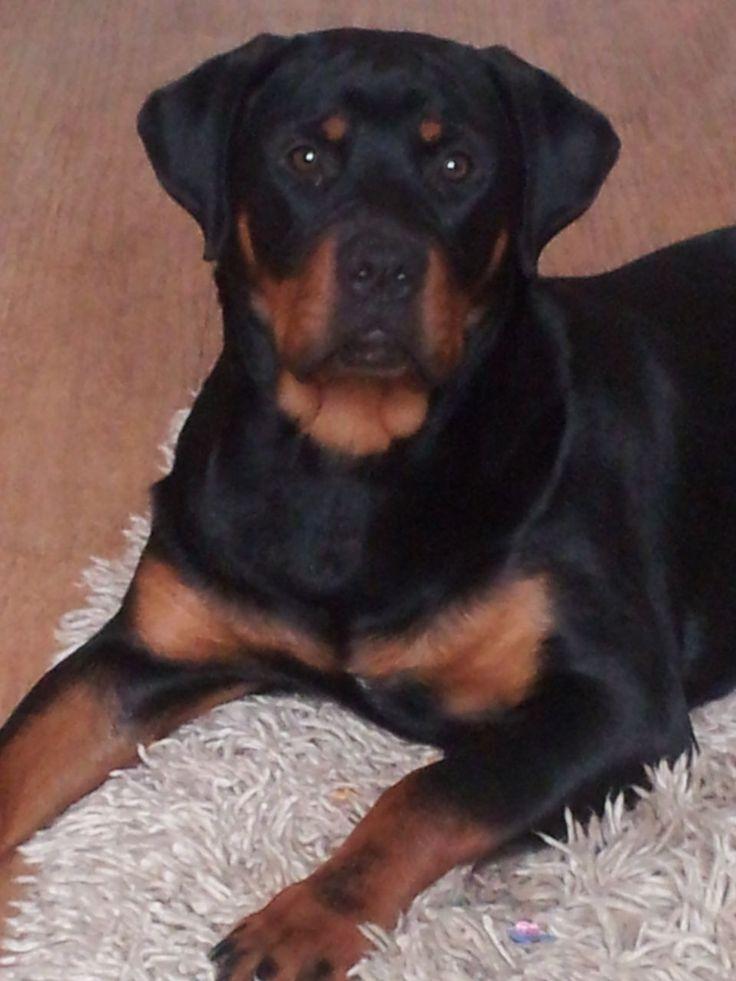 Female Rottweiler For Sale 8 Months Old Bridgend Huge 12