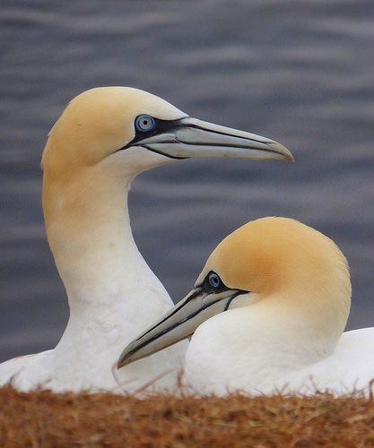 Northern Gannets on Helgoland, Germany | by Frans.Sellies