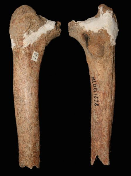 A thigh bone found in China suggests an ancient species of human thought to be long extinct may have survived until as recently as the end of the last Ice Age. The 14,000 year old bone -- found among the remains of China's enigmatic 'Red Deer Cave people' -- has been shown to have features that resemble those of some of the most ancient members of the human genus, Homo, despite its young age.