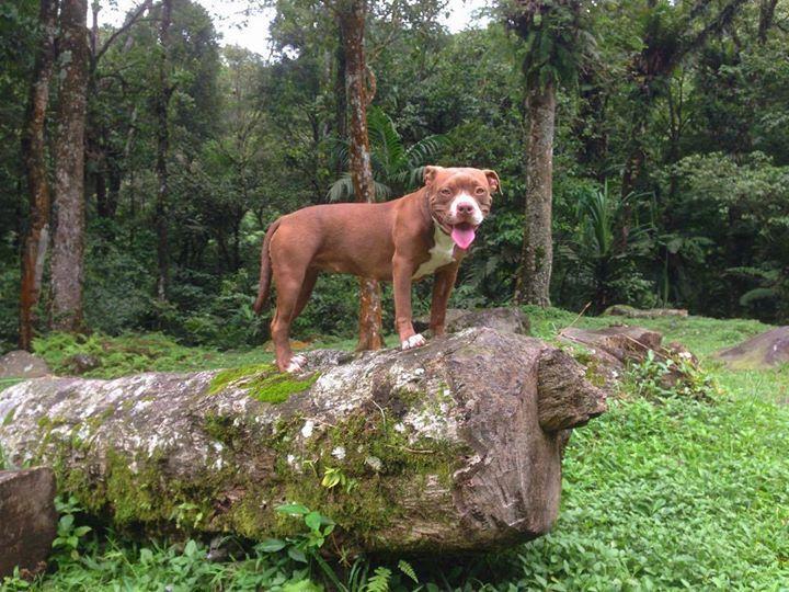 In the woods #labmix #mutt #mongrel #pitbull #anjing #anjingkampung #pitbullsofinstagram #anjingsukabumi #anjingindonesia #adopt #rawfed #rednosepitbull Photo : http://ift.tt/1pteGZf