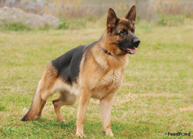 German Shepherd Pitbull Mix Dog Breed Guide For 2020 Pitbulls