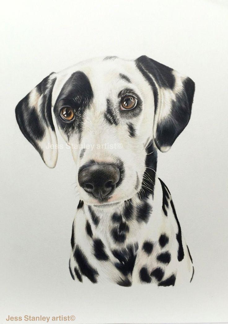 Marzi the Dalmatian portrait in coloured pencil by Jess Stanley artist #dalmatian