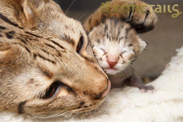 Savannah Cat - Bing Images
