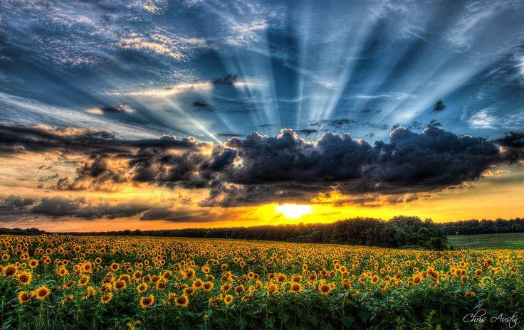 sunflower field in Gastonia, NC...photo by Chris Austin