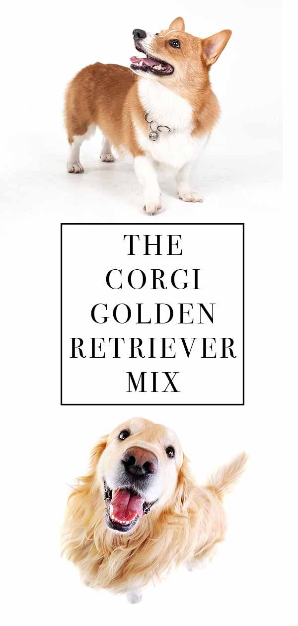 Corgi Golden Retriever Mix Cute Combo Or Crazy Cross Golden Retriever Corgi Mix Corgi Golden Retriever Golden Retriever Mix Puppies