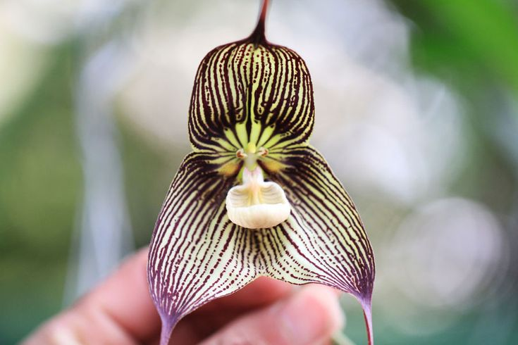 dracula orchids - Google Search