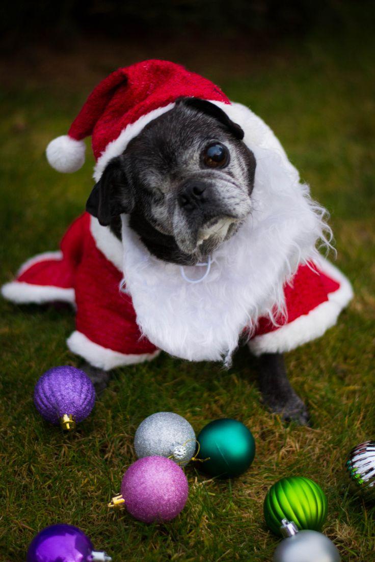 Santa Paws (Percy)