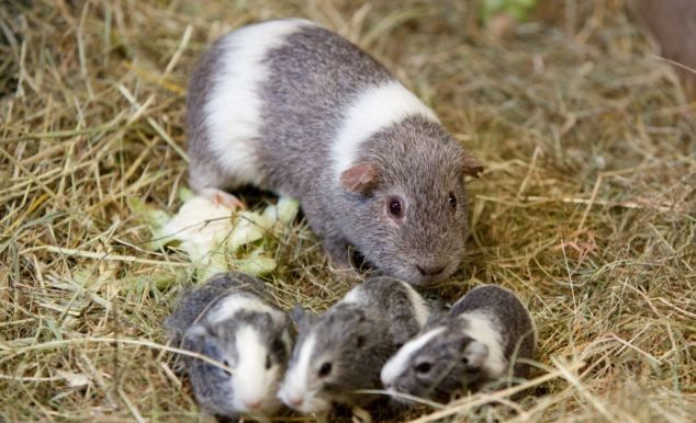 Guinea Pig with cute baby's                                                                                                                                                                                 More