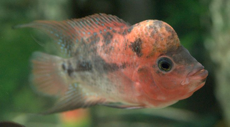 78 Best images about Flowerhorns on Pinterest | Horns ...