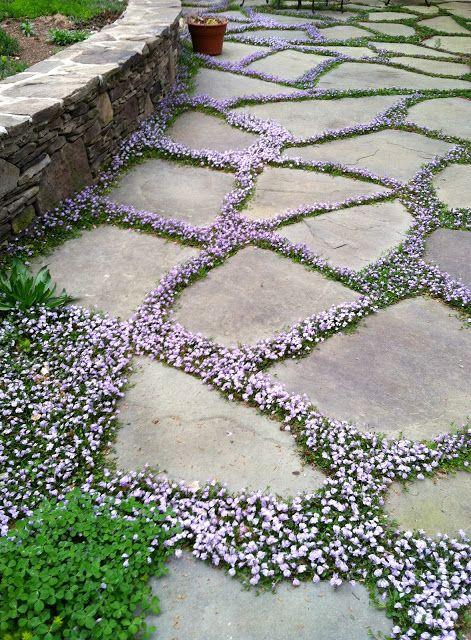 Mazus reptans. In between stones on pathway. Walkable! Partial sun.