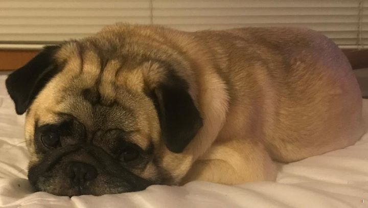 Lost Dog Minneapolis Pug Male Date Lost 05 29 2019 Dog S Name