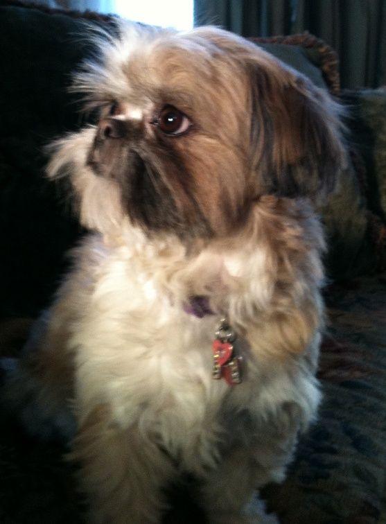 73 Best Boomer Hondjes Images On Pinterest Shih Tzus