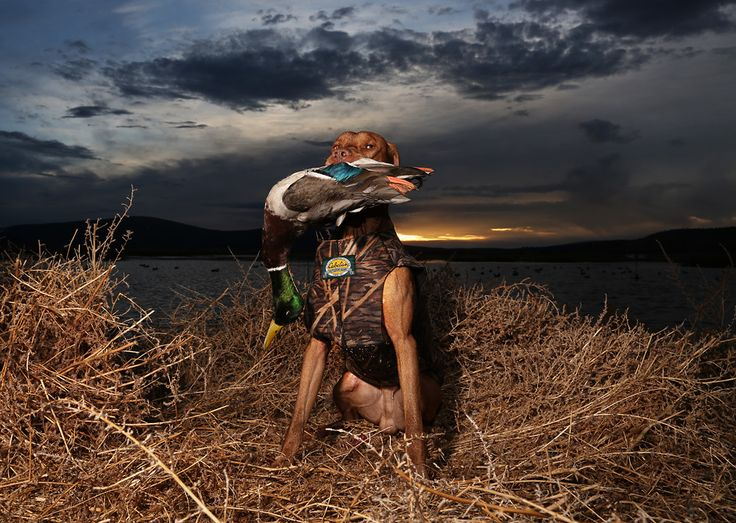 484 best images about bird dogs on pinterest