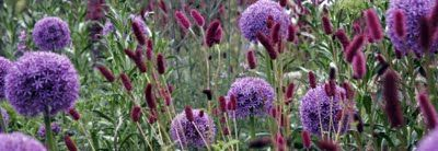 greencube garden and landscape design, UK:  Allium globemaster  with Sanguisorba menziesii