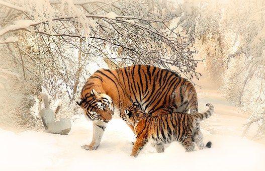 타이거, 아기 호랑이, Tigerfamile, 젊은, 가족