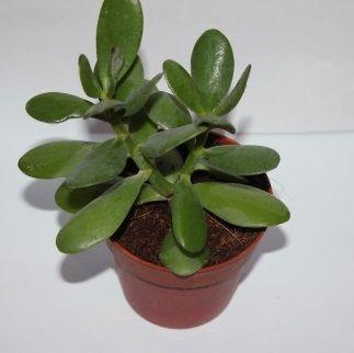 Eve bereket bolluk getiren bitki! Feng Shui'ye göre bu bitkiyi evinizde bulundurmanız size zenginlik getirecektir parayı mıknatıs gibi çekecektir.Peki nedir bu bitkinin adı.? Bereket bolluk…