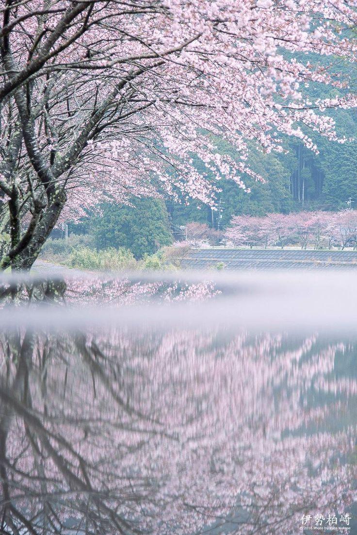 Cherry Blossom, Japan by Yuto Nakase  #桜 #CherryBlossom
