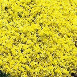 golden sedum ground cover