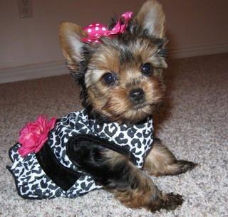 baby girl yorkie | CLOG | Pinterest