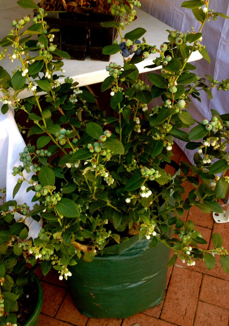 Blueberry Plants from Yanchep Springs.