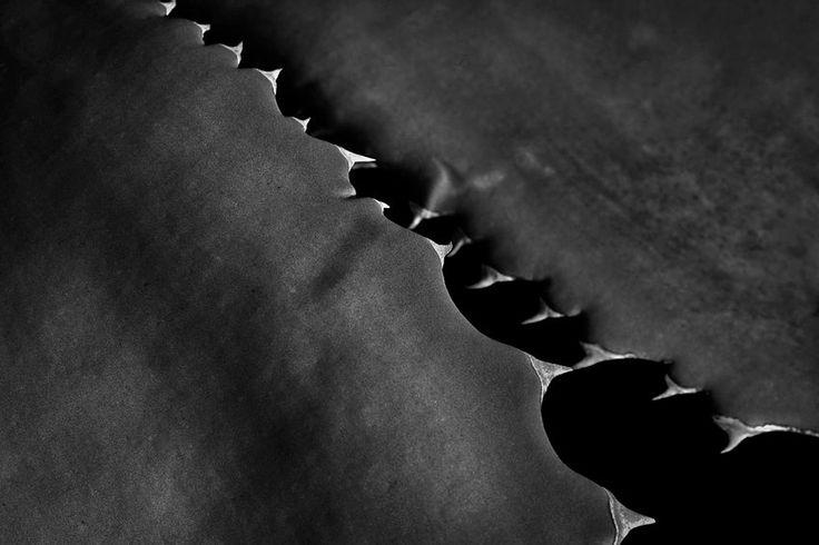 AGAVE  Sobre plantas com espinhos, sobretudo cactos. Apontamentos em macrofotografia com câmara digital e lente adequada a captar pormenores e fotos close-up
