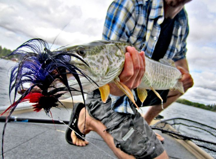 17 best images about tiger musky on pinterest shops for Musky fly fishing