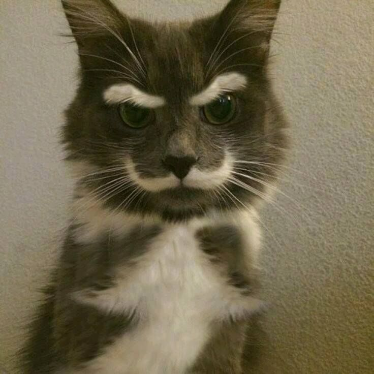 Cat with thick white eyebrows and mustache