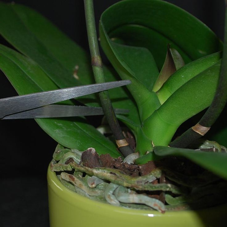 What is a way I can assist in the reblooming process? Here we have tips on trimming your orchid spikes.