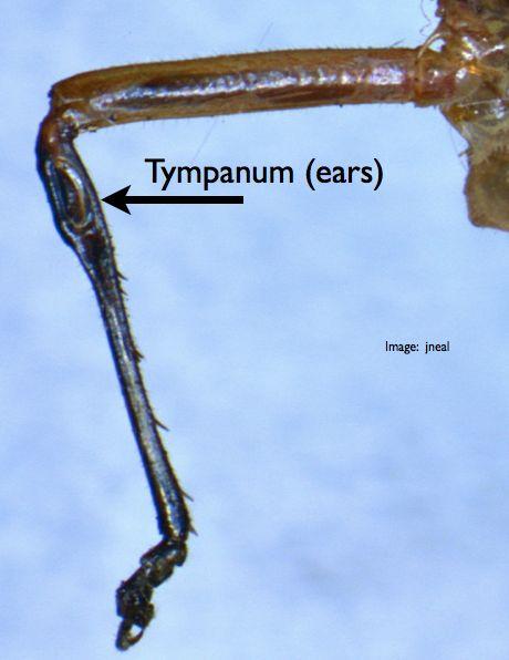 Katydids have ears on their knees