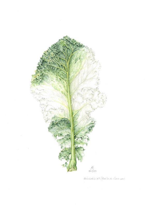 Cabbage leaf - Sibylle Reibiger