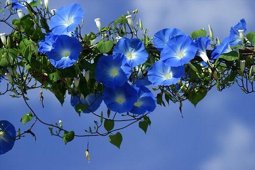 Ipomoea, morning glory garlandBeautiful Flower, Pink Flower, Morning Glories, Blue Sky, Mornings Glories, Vines, Front Yards, Garlands, Blue Mornings