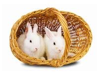 rabbit 2 http://caramerawatkelinci.blogspot.com/2012/07/cara-merawat-bayi-kelinci.html